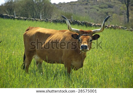 Cow posing in a green field - stock photo