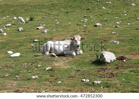 Cow resting on a meadow