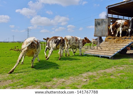 cow run and jump happy in green meadow after livestock transport - stock photo