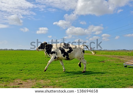 cow running in field - stock photo