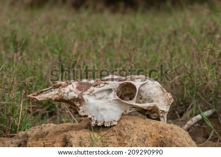 cow's skull - stock photo