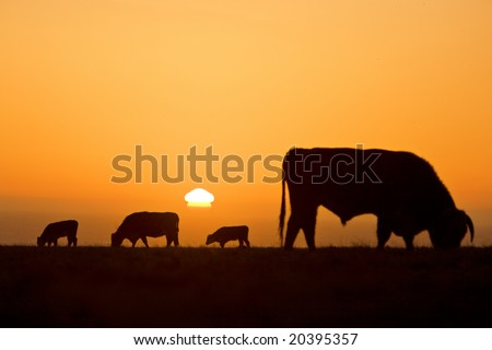 Cow silhouettes with golden light during sunset - stock photo