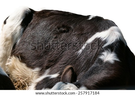 cow skin texture - real genuine animal hair closeup background