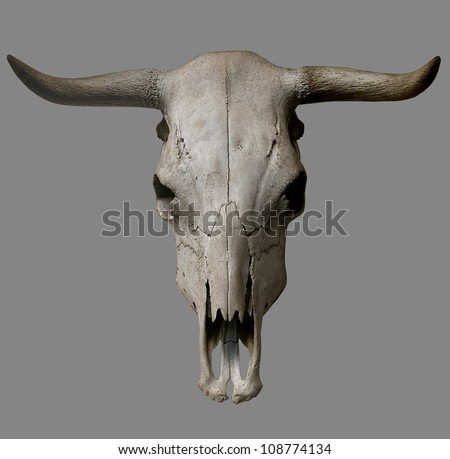 Cow skull on gray background. - stock photo