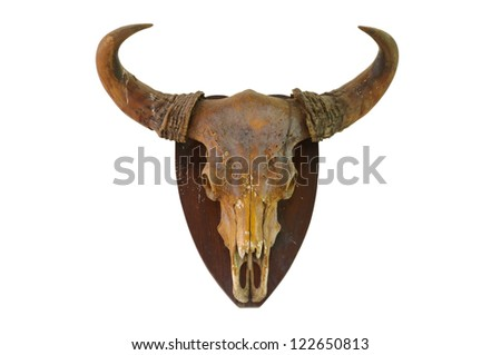 Cow skull on white wall