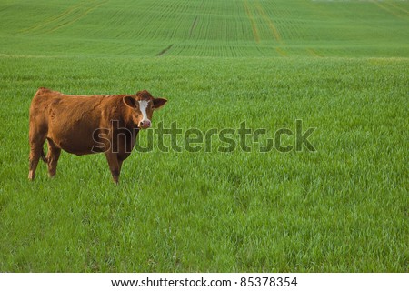 Cow standing in a barley field in early spring