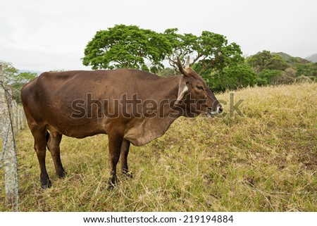 cow standing in field in the tropical Chiapas,Mexico - stock photo