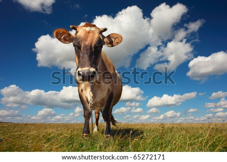 Cow standing on grass and looking to a camera on blue cloudy sky background