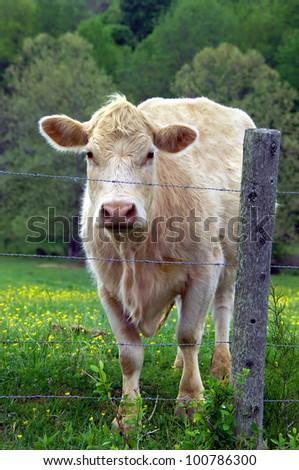 Cow stands behind barbed wire fence looking out.  Field is green and cow is a white, Charolais. - stock photo