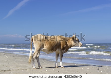Cow staring towards the sea from the beach.  Single cow standing on a sandy beach.