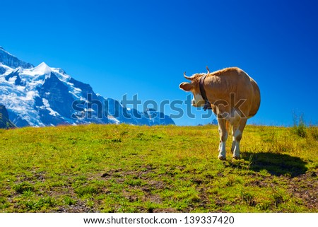 Cow turning back on high mountain meadow. - stock photo