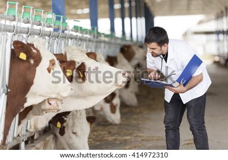 Cow Veterinary - stock photo