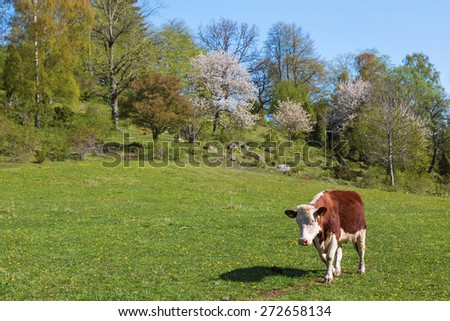 Cow walking in the meadow in a spring landscape - stock photo