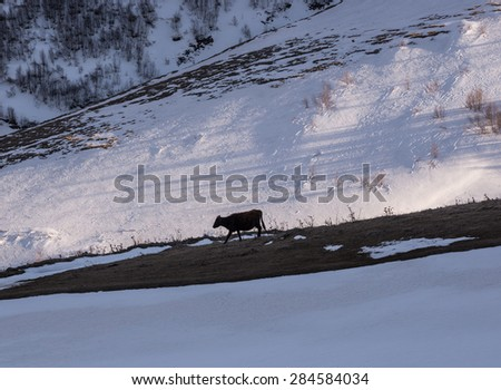 Cow walking under the Mount Kazbek, Greater Caucasus Range in Georgia - stock photo