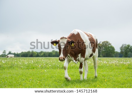 Cow walks in the filed - stock photo
