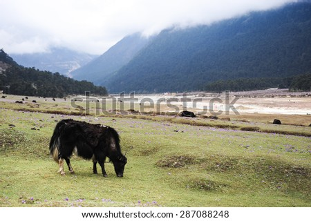 Cow with a happy face on shoulder in Yumthang valley,Sikkim,Northern India.