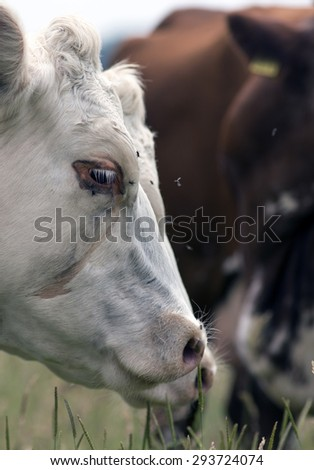 Cow with a lot of flies around the head and eye. - stock photo