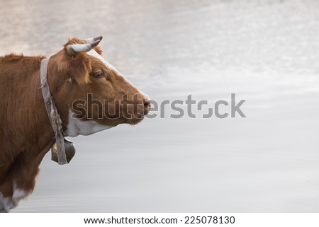 cow with bell - stock photo
