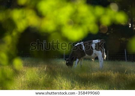 cow with bokeh in historic world heritage longford brickendon area tasmania - stock photo