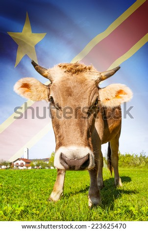 Cow with flag on background series - Democratic Republic of the Congo - Congo-Kinshasa - stock photo
