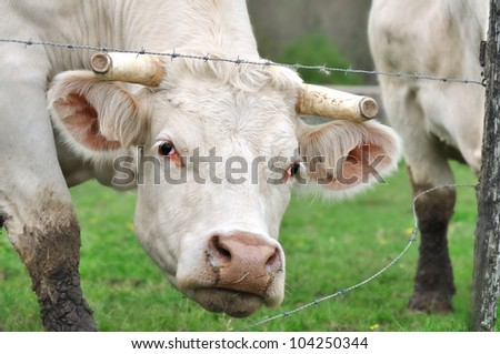 cow with horns cut from his head between the barbed wire its meadow
