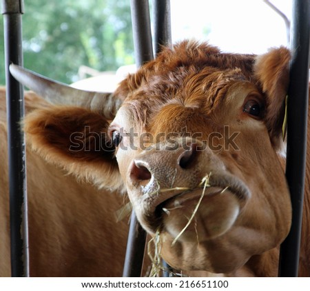 cow with mad eyes eats straw and hay in the barn of the farm