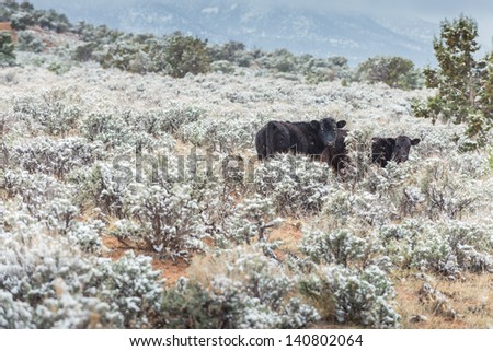Cow with Snow - stock photo