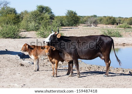 cow with two calves standing at an african water hole, Namibia - stock photo
