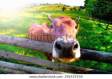 Cow wooden fence on green pasture near the forest morning in the countryside village - stock photo