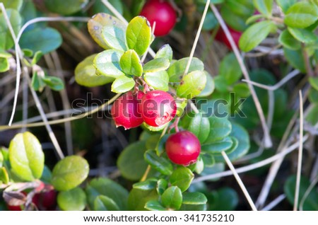 Cowberry. Bushes of ripe forest berries. Selective focus - stock photo