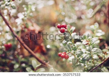 Cowberry. Bushes of ripe forest berries. Selective focus, vintage colours