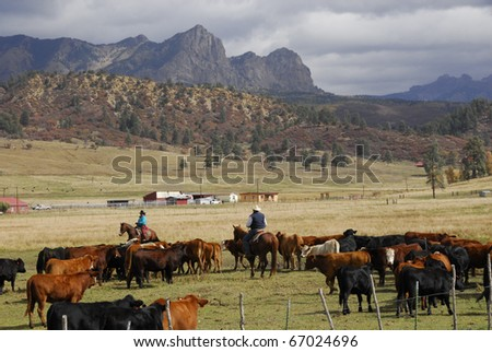 Cowhands herding cattle in roundup. - stock photo
