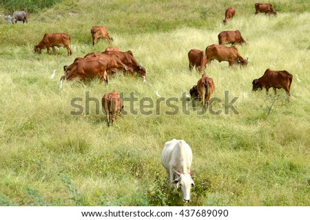 Cows and bulls grazing on lush grass field  - stock photo