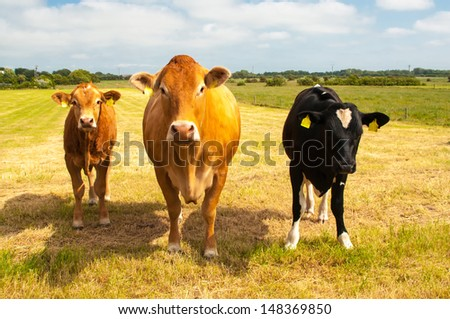 Cows and calfs - stock photo