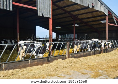 Cows and calves in the hangar