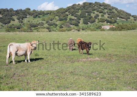 cows and cattle graze free in a wasteland, summer day