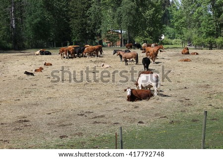 Cows and horses in the farm yard - stock photo