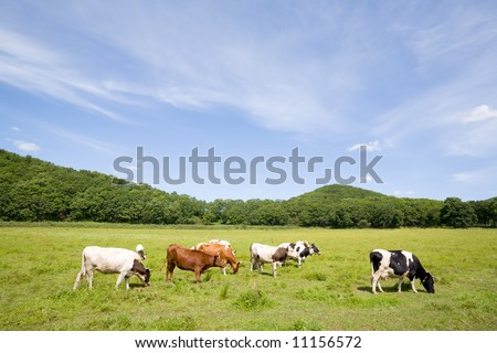 Cows are grazed on a meadow - stock photo