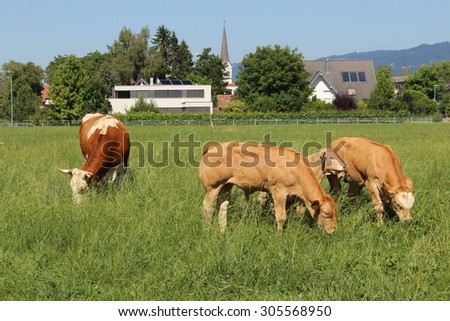 Cows are grazing on green meadow in Hard, Vorarlberg, Austria. - stock photo