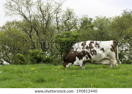 Cows are in the meadow-brown and white cow grazing peacefully in meadow in rural Shropshire - stock photo