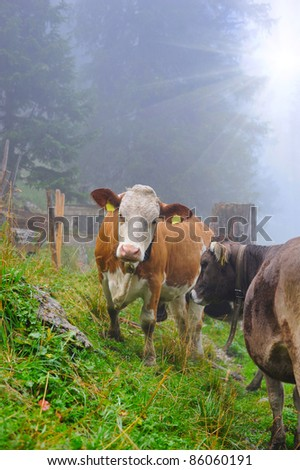 Cows are on a forest pasture