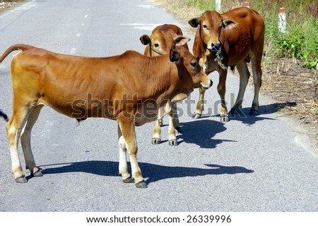 Cows at a road in Vietnam