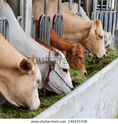 cows at barn stall in farm - stock photo