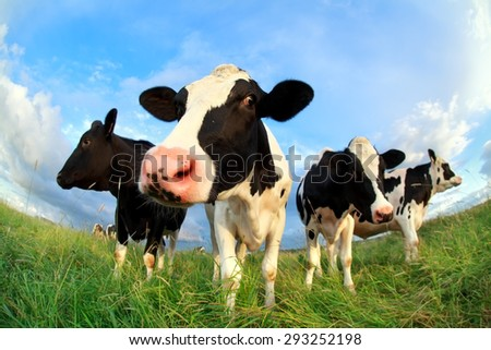 cows close up on pasture over blue sky
