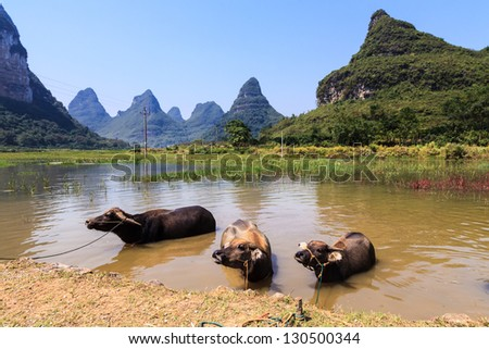 Cows cooling down in water in Asia, South China - stock photo