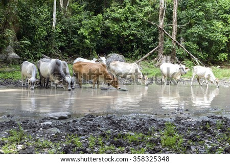 cows drinking water in the jungle