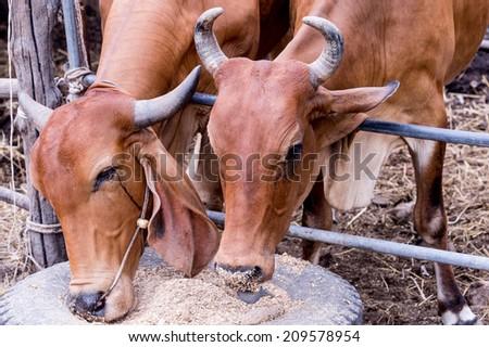 Cows eat hay. - stock photo