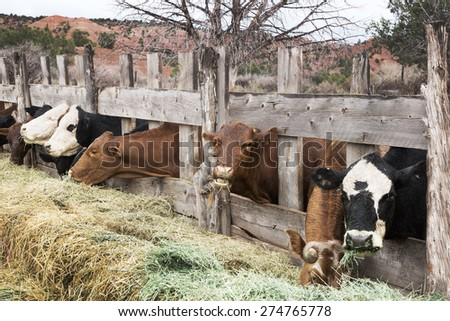 Cows eating hay on the farm. America, Utah - stock photo