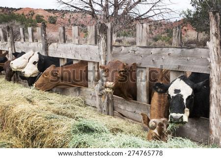 Cows eating hay on the farm. America, Utah - stock photo