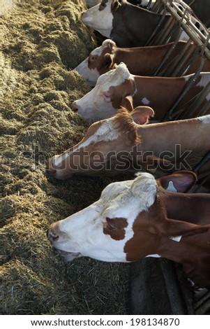 cows farm - stock photo